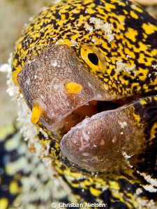 Clouded Moray found on the Housereef on Lembongan. Image ... by Christian Nielsen 